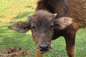 Телёнок азиатского буйвола смотрит на меня