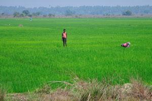 Зелёное рисовое поле