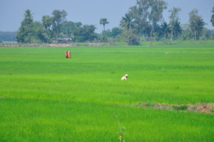 Рисовые поля по дороге на озеро Чилика