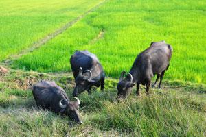 Чёрные буйволы