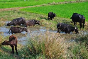 Индийские буйволы всегда в воде