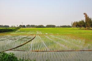 Рисовые поля со стройными рядами саженцев