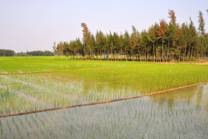 Рисовое поле разделено на орошаемые территории