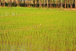 Некоторые виды птиц питаются на рисовых полях