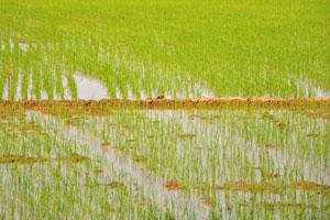 Разделительные границы рисового поля