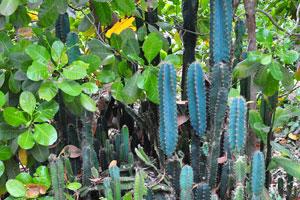 Цереус (кактус) растёт возле дороги