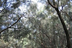 Верхушки низких хвойных растений