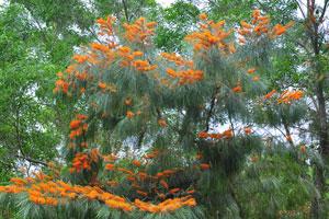 Дерево с ярко-оранжевыми цветами