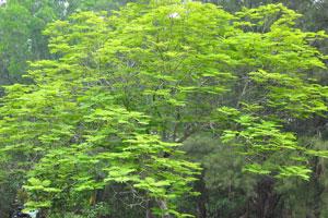 Дерево с горизонтальными розетками листьев