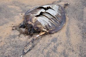 Побережье океана в этом месте усыпано трупами черепах
