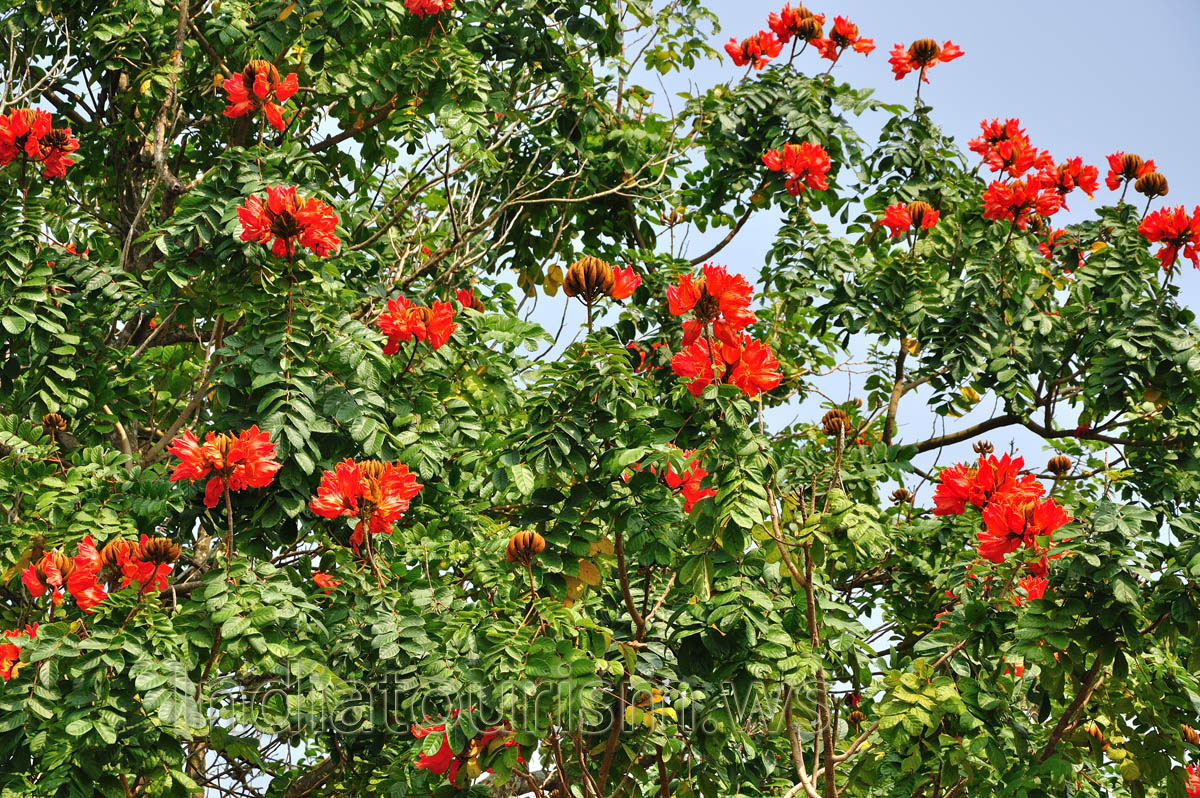 Red flowers of african tulip tree konark orissa for Tree with red flowers