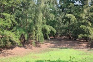 Индийский хвойный лес