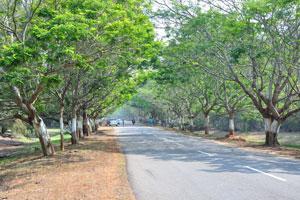 Экзотические деревья посажены по обеим сторонам дороги Конарк