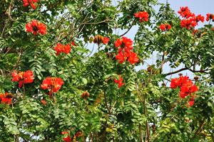 Красные цветы спатодеи