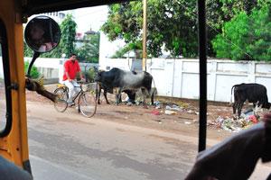Коровы гуляют на улицах Бхубанешвара везде