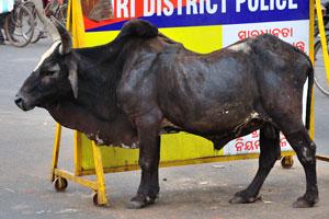 Это индийский бык
