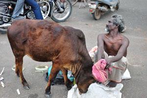 Корова нашла что-то интересное покушать