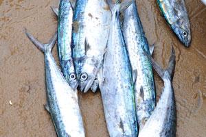 Эта рыба из семейства скумбриевых поймана в Бенгальском заливе