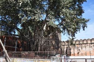 Огромное дерево баньян на дороге Базар Индиры