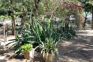 Кактусы в саду Джай Нивас