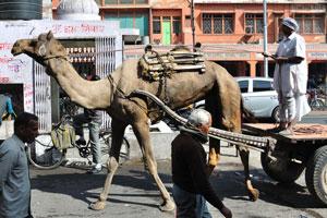 Верблюд идёт вдоль базара Чандпол, напротив Эйч.Эм. Печать