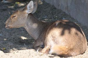 Малыш свиного оленя в тени