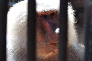 Гамадрил сидит в клетке