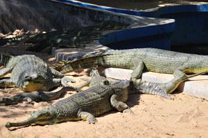 Детёныши крокодилов вида Гангский гавиал