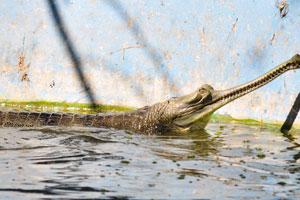 Крокодил Гангский гавиал