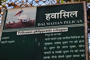 Плакат о Кудрявом пеликане