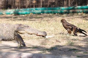 Крокодил и орлы