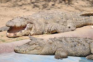 Болотные крокодилы любят погреться на солнце
