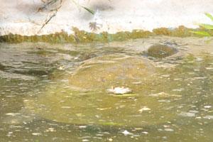Индийская мягко-панцирная черепаха