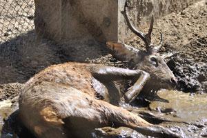 Олень Индийский замбар в грязи