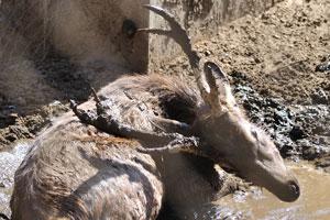 Олень Индийский замбар наслаждается грязевой ванной