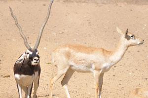 Самец и самка Гарны