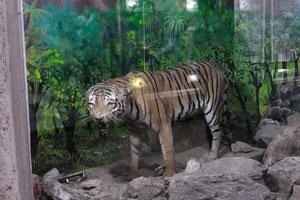 Музей естественной истории: тигры