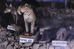 Музей естественной истории: волк, пантера, чешуйчатый муравьед и красная панда
