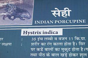 Плакат об индийском дикобразе