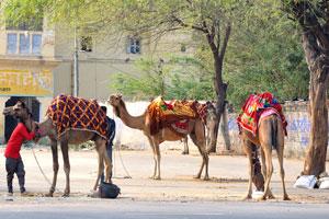 Верблюды красиво украшены коврами