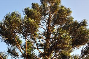 Неизвестное хвойное дерево
