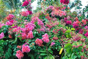Роскошные малиновые цветы