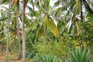 Самое многочисленное дерево в лесу это кокосовая пальма