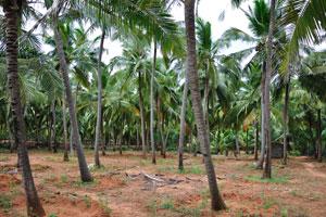 Кокосовые пальмы (Cocos nucifera) есть повсюду на юге Индии