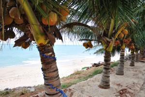 Оранжевые кокосы декоративных пальм