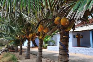 Миниатюрные кокосовые пальмы