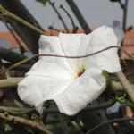 Огромный белый цветок