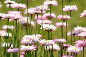 Эти розовые цветы растут в Джилаукхане