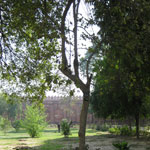 Нуклея адамба