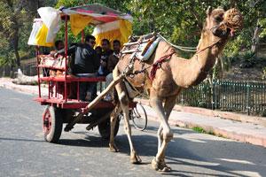 Верблюжья повозка с пассажирами